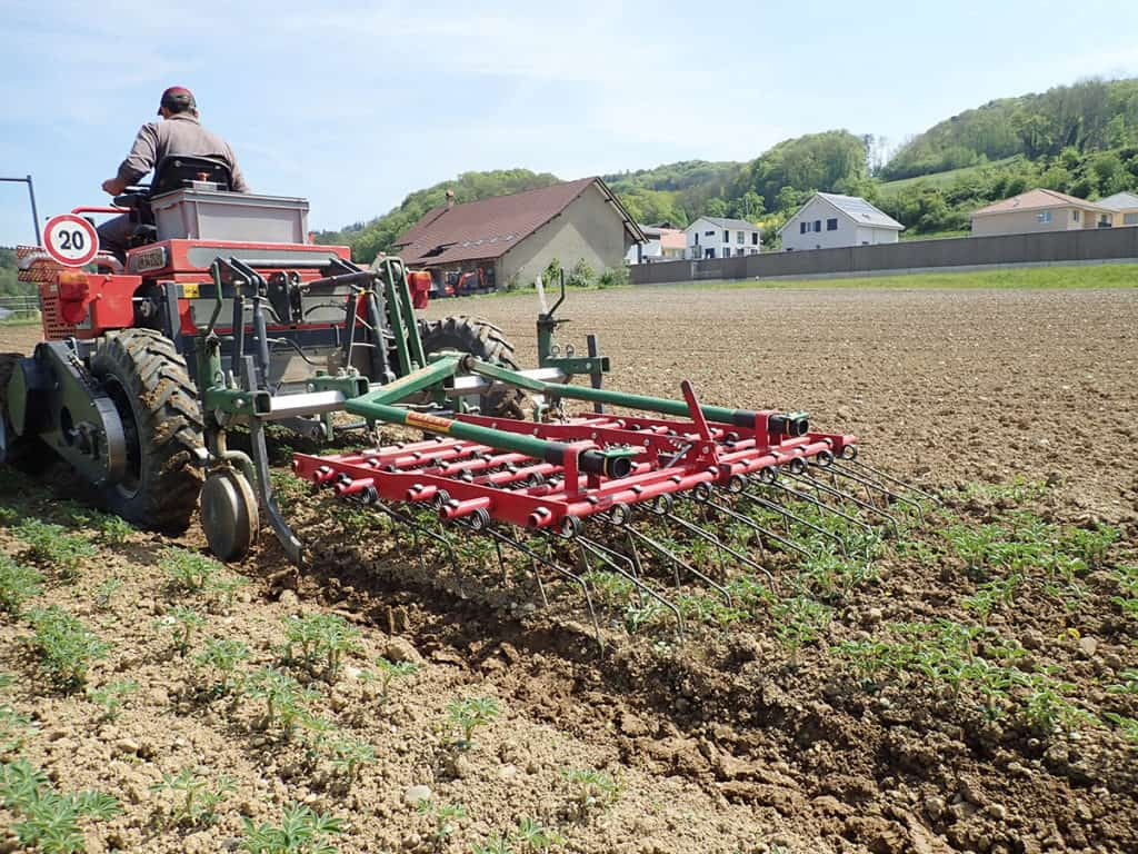 Weed control is particularly important for the prevention of late weeds. The crop can be weeded mechanically in the early stages.