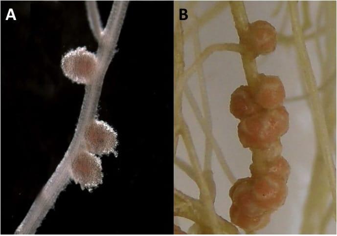 Figure 2. Shape of nodules in legume plants. A indeterminate; B-determinate.