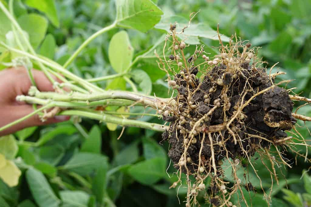 Figure 3. Nodulated roots of soybean plants from the field. Photo: Leopold Rittler (Donau Soja).