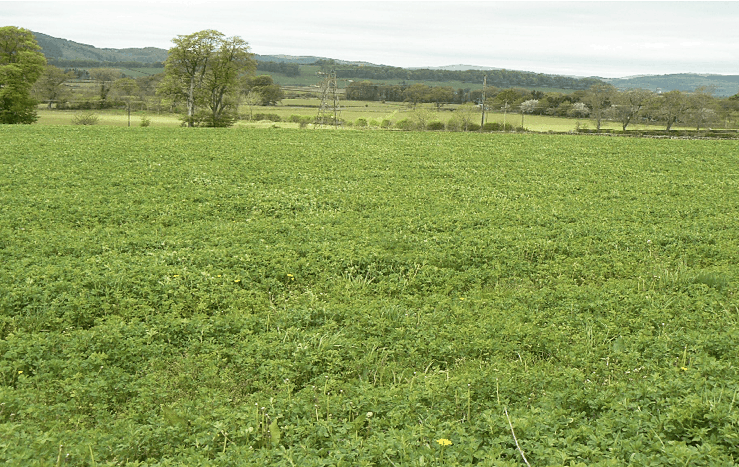 Lucerne growing at Crichton Royal Farm in Dumfries, Scotland in 2015-39071651