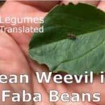 bean_weevil-375a9c30
