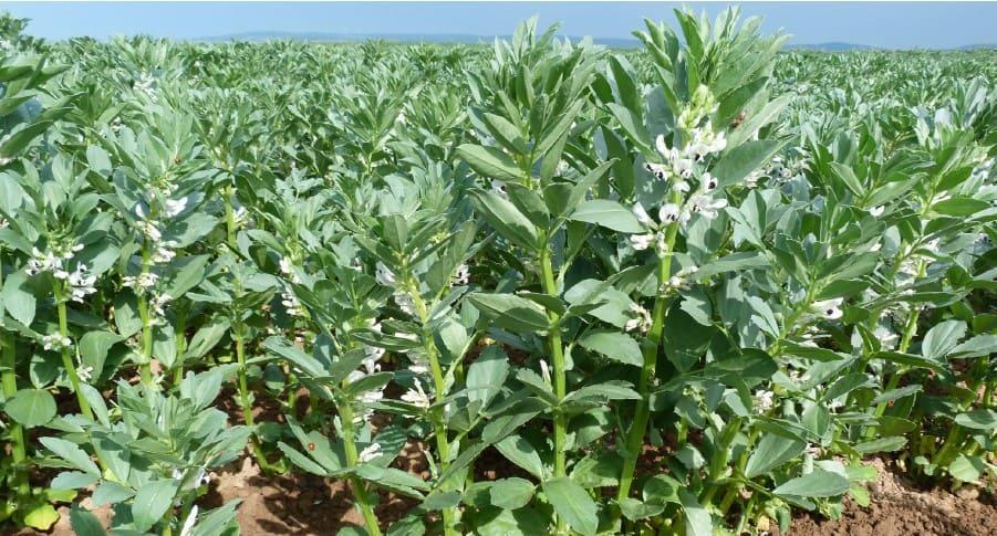 faba bean in the field