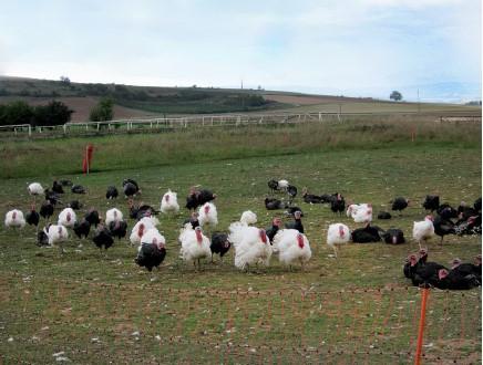 turkeys-34823908